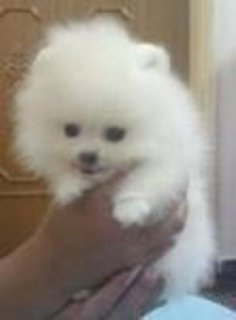 male and female Teacup  Pomeranian Puppies for Adoption
