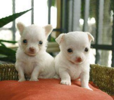 stunning Registered Teacup Chihuahua Male and Female  Puppies fo