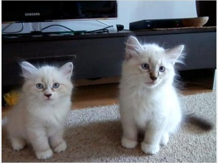 Adorable Pedigree Siberian kittens available.