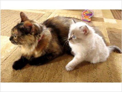 New England Siberian Kittens