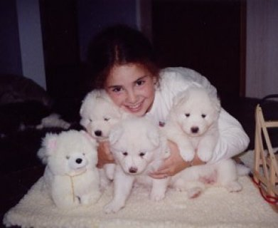 Pure White and Pure Breed Samoyed Puppies