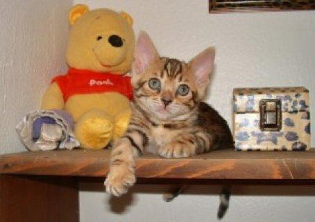 البنغال رائعتين القطط للبيع