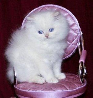 القطط الفارسية للبيع