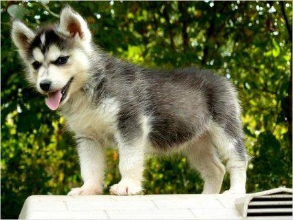 Female Siberian Husky Puppy Ready Now