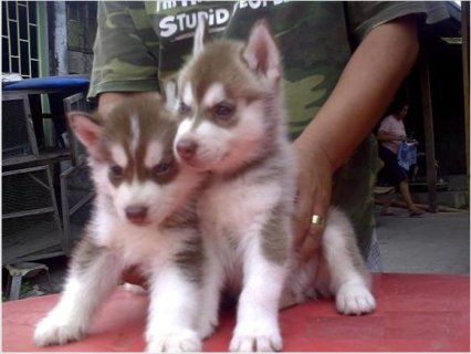 Healthy Siberian Husky Puppies Available