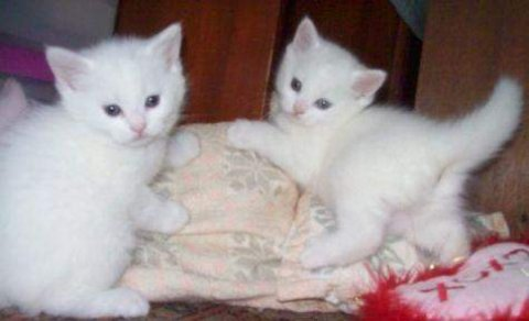 Pure Breed Persian Kittens with Sweet Blue Eyes Available
