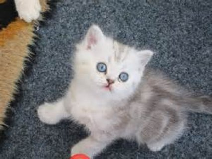 Persian Kittens with pure Blue Eyes Available