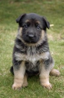 German Shepherd pupies for sale