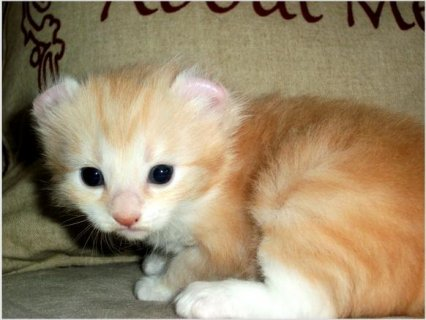 Adorable American Curl kittens available