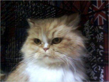 Persia Kitten