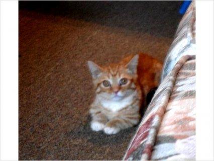 Tica Napoleon Standard Male Kitten