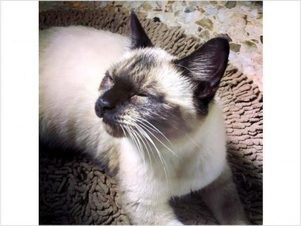 Young Housetrained Siamese