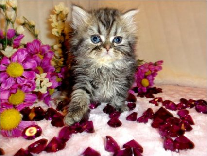 Baby Doll Persian Kittens