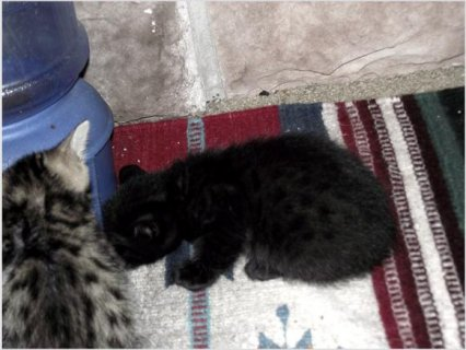 Balck and golden Bengals kittens