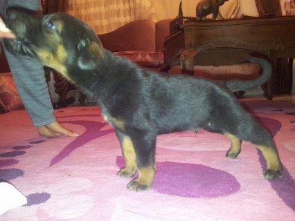 صور $doberman puppies for sale 3