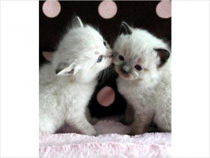 Ragdoll & Ragamuffin Kittens