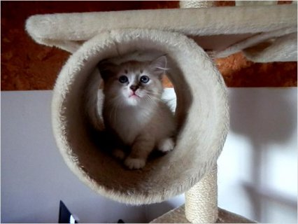 Adorable Pedigree Siberian kittens available for adoption.
