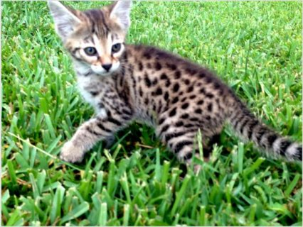 Adorable F3 SAVANNAH KITTENS for  xmas
