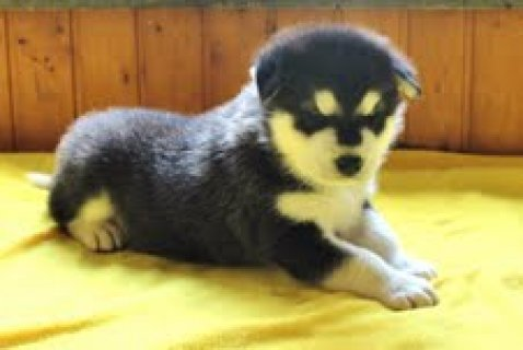 Xmas Alaskan malamute  puppies for sale
