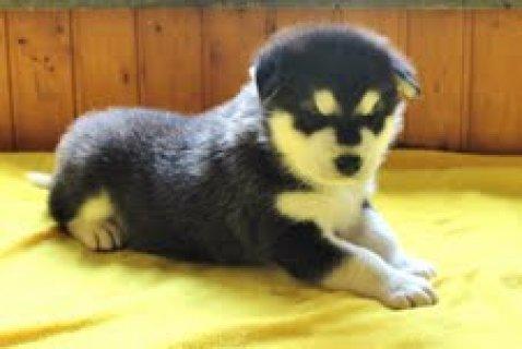 Xmas Alaskan malamute  puppies for sale