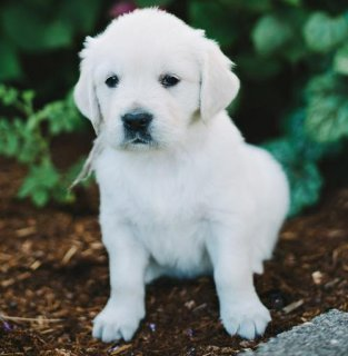 Gorgeous Golden Retriever puppies ready