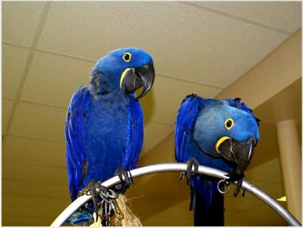 Hyacinth Macaw baby parrots  For Rehoming