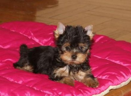 X-Mas Yorkshire Terrier puppies for good homes