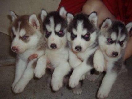 Beautiful littles of Siberian husky