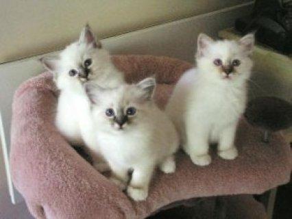 2 Seal Point Birman kittens