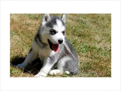 Healthy Cute Siberian Huskies Now