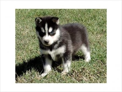 Akc Siberian husky male and female