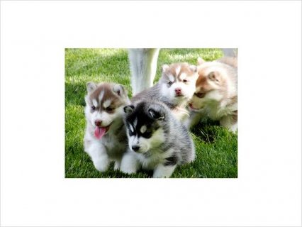 صور Blue Eyes Siberian Husky puppies 1