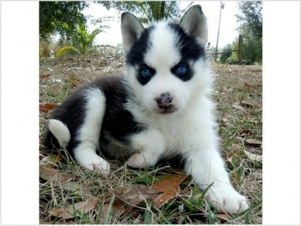 Fantastic Siberian Husky Puppies Available for new home