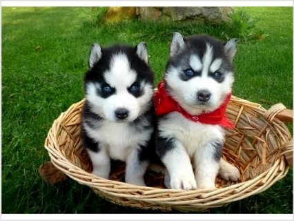 Akc Siberian Husky Puppies Available here