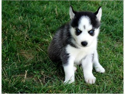 Akc siberian husky pups available Champion Blood line.