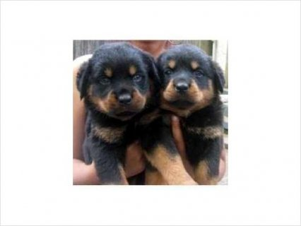 Outstanding Rottweiler Puppies