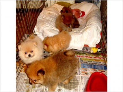 Ckc TINY TEACUP POMERANIAN PUPPIES