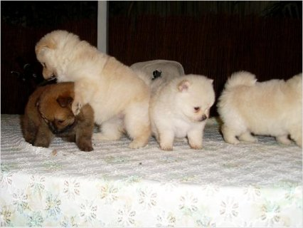 Tiny Micro Male And Female Pomeranian Puppies Available