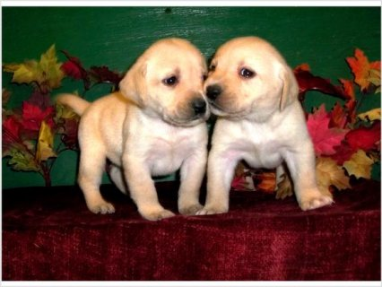 2  Labrador Retriever puppies