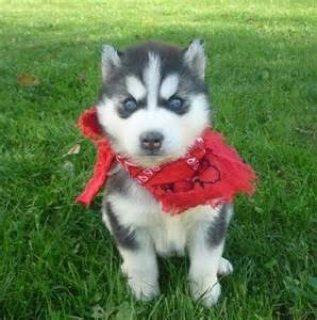 Siberian Husky Puppies for Re-homing