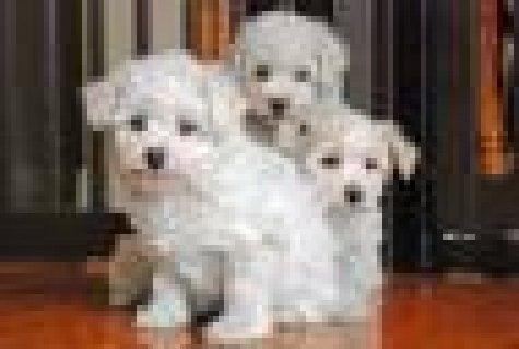 Healthy Bishon Frise Puppies