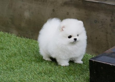 Beautiful and cute healthy pomeranian  PUPPIES baby pupies