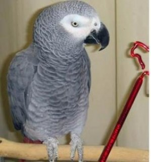 talking-african-grey parrots for sale.