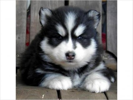 Affordable Siberian Husky puppies for good home