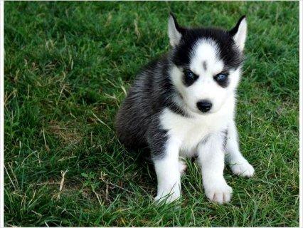 Siberian Husky Puppies Champion Blood line