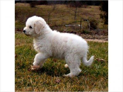Akc Komondor puppies