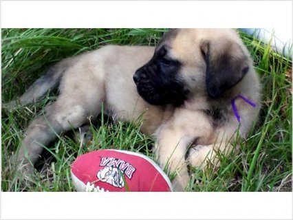 ENLISH MAstiff Puppies