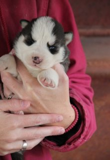 {wilbergoodman1@gmail.com }Adorable SIBERIAN SUSKY puppies read