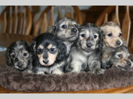 AKC Longhair English Cream dachshund puppies