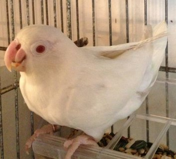 READY TO BREED FEMALE ALBINO FISCHER LOVEBIRD